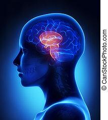 lateral, -, caule, anatomia, cérebro, femininas, vista