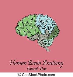 lateral, hand, brain., mänsklig, oavgjord, färgad, synhåll