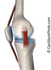 lateral, isolado, anatomia, joelho humano, vista