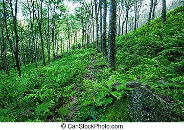 latex gummi, natur, bäume, tropische , hintergrund., grüner wald, plantage