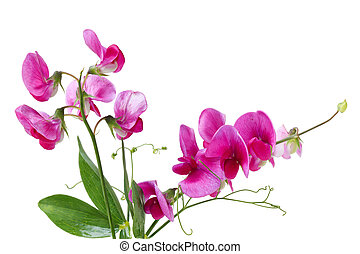 lathyrus, wildflower, erbse, zerdrücken