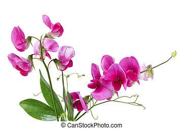 lathyrus, zerdrücken, erbse, wildflower