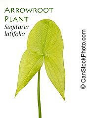 latifolia, arrowroot, planta, sagitaria, o