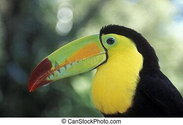 LATIN AMERICA HONDURAS COPAN - Tropical Birds in the town of...