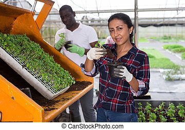 Latina woman and afro-american man farm workers repotting vegetable seedlings at greenhouse