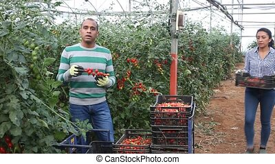 Hispanic man and woman gardeners harvesting tomatoes at vegetable farm, seasonal horticulture