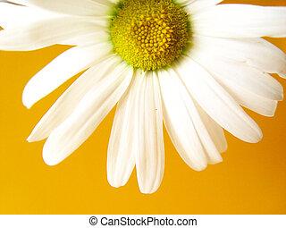lato, żółty, stokrotka