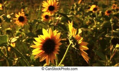 lato, (1117b), słoneczniki, popołudnie, zachód słońca