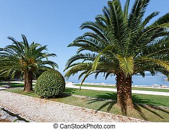 lato, dłoń, park, drzewa, (montenegro)