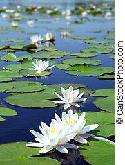 lato, jezioro, z, grzybień, kwiaty