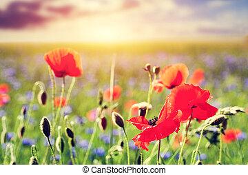 lato, maki, zachód słońca pole, mak, close-up., kwiaty, krajobraz