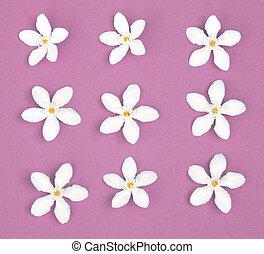 lato, pojęcie, purpurowe tło, białe kwiecie, (plumeria)