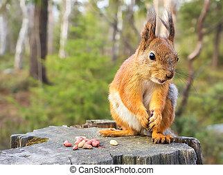 lato, tematyczny, wiewiórka, natura, orzechy laskowe, (sciurus, rodent), vulgaris, las, tło, dziki