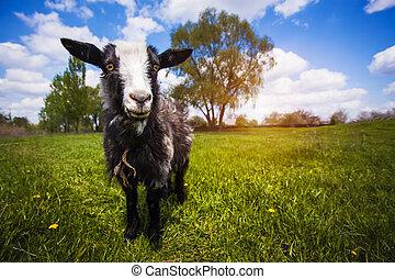 lato, zielona łąka, goat