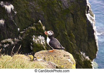 Latrabjarg - Iceland. Puffin on the rock