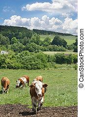 latteria, mucche