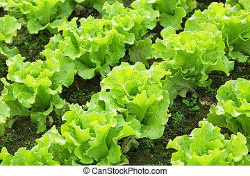 lattuga, semenzali, campo