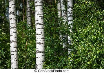 Latvian birch forest