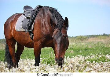 Latvian bay horse with saddle at the field with dandelions