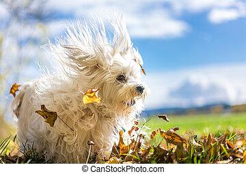 Laubsauger - Kleiner weißer Hund beim toben im Laub
