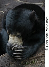 Laughing Bear - A bear in a humorous pose.