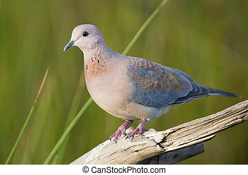 Laughing Dove walking on a tree stump in sunshine