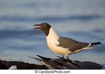Laughing Gull Calling Out in Morning Sunlight