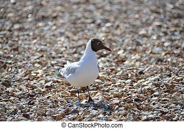 Laughing Gull (Larus atricilla) - A common shore bird of the...