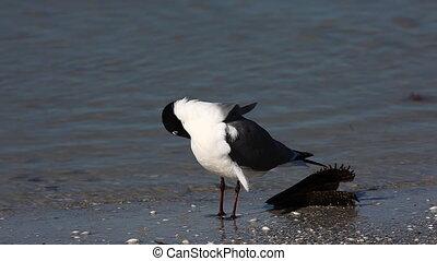 Laughing Gull on a Florida beach - Laughing Gull,...