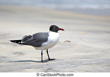 Laughing gull standing on a beach in Florida