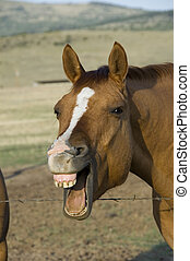 A horse which is braying or laughing