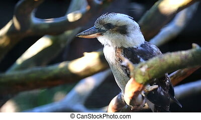 Laughing Kookaburra Portrait Side View - Close Up Portrait...
