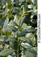Laurel cherry Rotundifolia - Latin name - Prunus ...