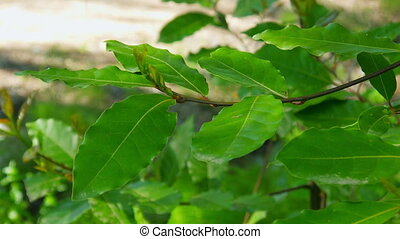 laurel herbs in forest
