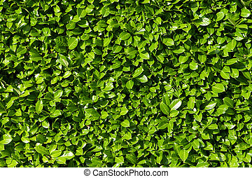 Laurel leaves, hedge of green laurel bushes