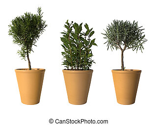 laurel, rosemary and lavender in terracotta pots isolated on white with copy space