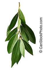 laurel, verde, ramo