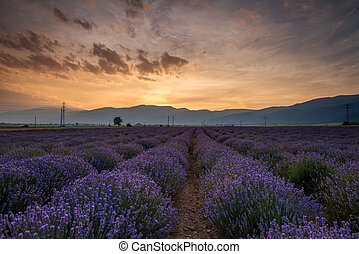 lavanda, fields., bonito, imagem, de, cor campo alfazema