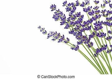 lavanda, flores, (lavandula, angustifolia)