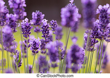 lavande, fleurs