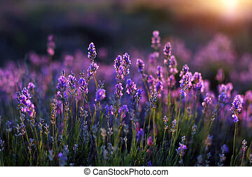 Lavander Blooms - Lavender blossoms at dawn