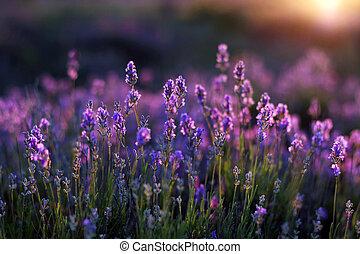Lavander Blooms - Lavender blossoms at dawn