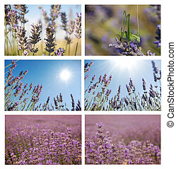 Set of six pictures with lavander closeups, horisont and over sky. Environmental natural lavender ?ollage over sky.