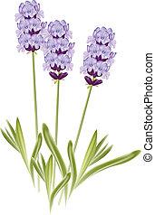 (lavandula)., ラベンダー, イラスト, バックグラウンド。, ベクトル, 白い花