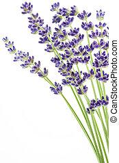 (lavandula, flores, lavanda, angustifolia)