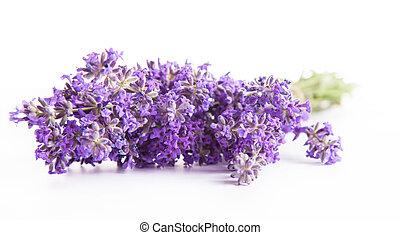 lavendel, blüten, freigestellt, weiß, hintergrund