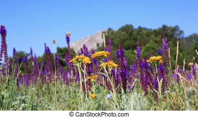 lavendel, bloemen, op, de, akker