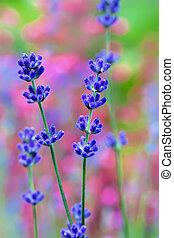 lavendel blomma, fält, makro, med, lent fokus