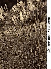 lavendel, blomningen, som, bakgrund., in, sepia, toned., retro designa