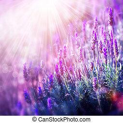 lavendel, blomster, field., i tiltagende, og, blooming,...